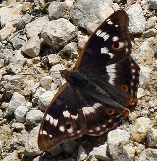 Papillons un peu plus insolites Dsc09512