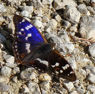 Papillons un peu plus insolites Dsc09513