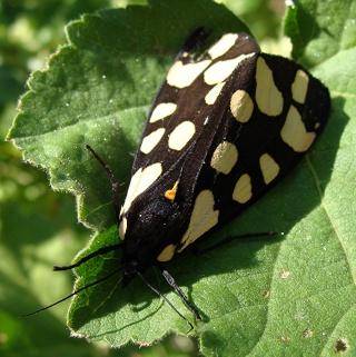 Papillons un peu plus insolites Dsc09514