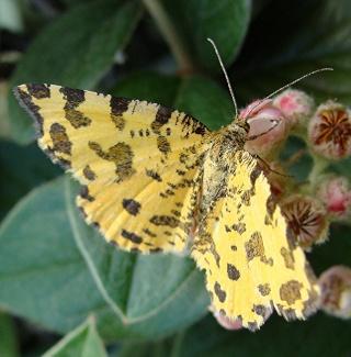 Papillons un peu plus insolites Dsc09611