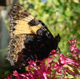 Papillons un peu plus insolites Dsc09811