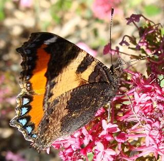 Papillons un peu plus insolites Dsc09812