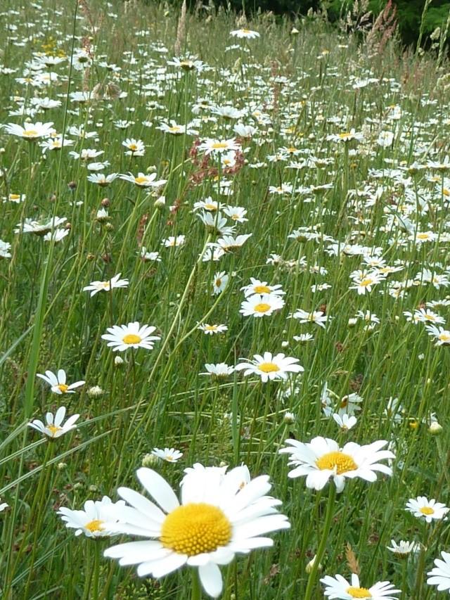 Les fleurs... Champ_10