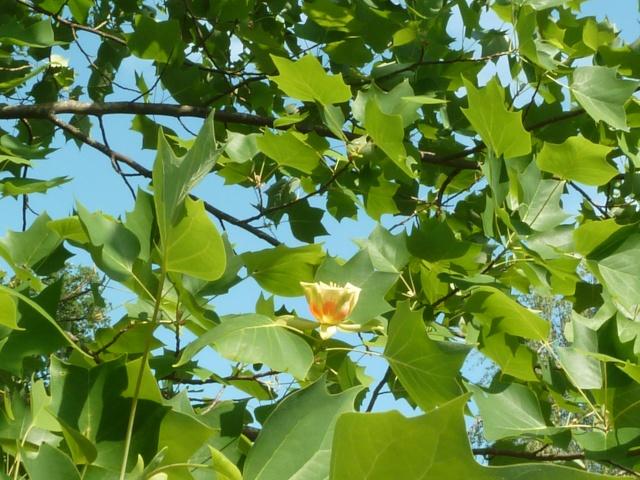 Les fleurs... Tulipe11