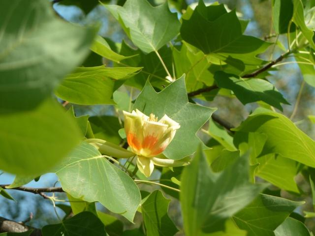 Les fleurs... Tulipe12
