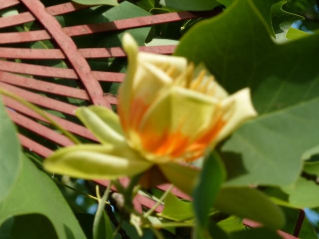 Les fleurs... Tulipe13