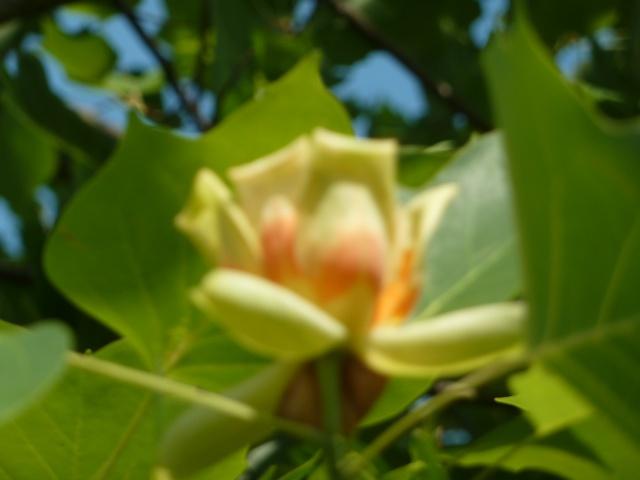Les fleurs... Tulipi10