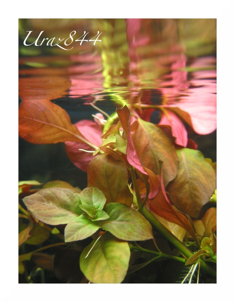 Index illustré de nos plantes d'aquarium Ludwig10