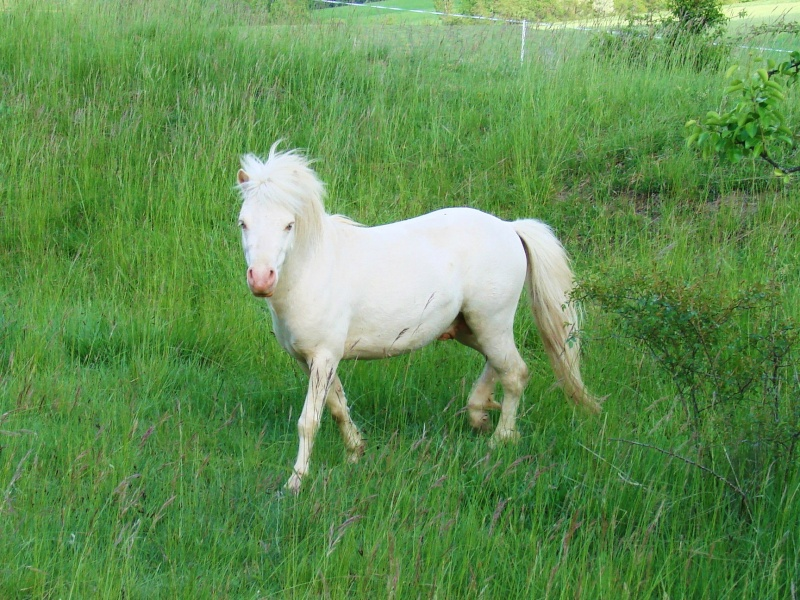 Bonjour:éleveuse de poneys Shetlands et Classics ponys Dsc00210