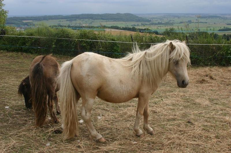 Bonjour:éleveuse de poneys Shetlands et Classics ponys Mini_s12