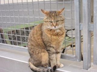 Lilli, femelle tigrée stérilisée 35720410