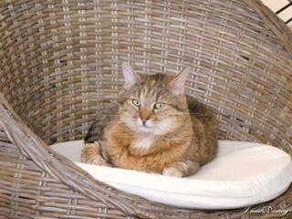 Lilli, femelle tigrée stérilisée 36737310