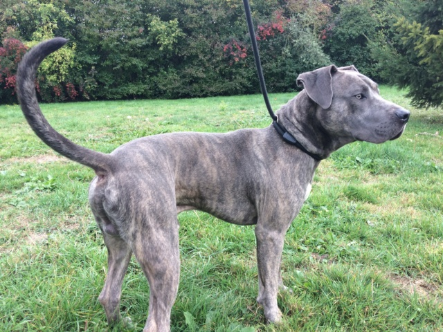 Murphy, mâle croisé cane corso/labrador Img_4612