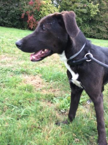 ORSON mâle croisé labrador noir 9 mois - SPPA à Amiens (80)  Img_4613