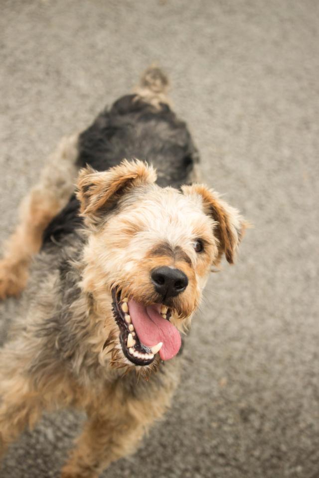OSCAR - fox terrier 8 ans - SPPA à Amiens (80) Img_7119