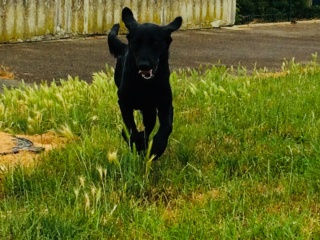 Owen, mâle croisé labrador noir Img_e320