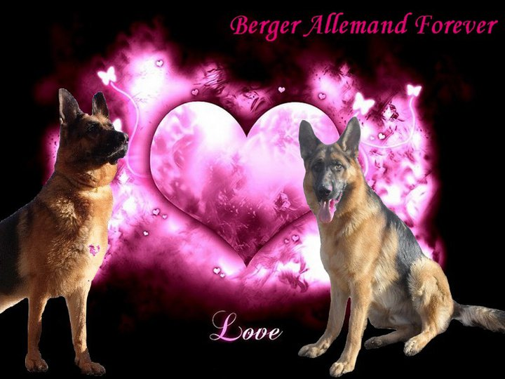 Berger Allemand Forever