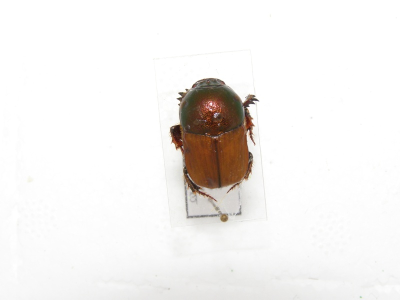 [Onitis alexis] scarabée d'Australie N°1 P5070011
