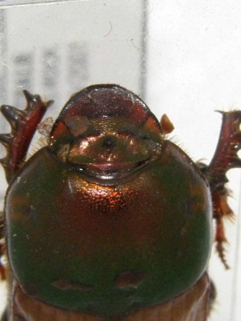 [Onitis alexis] scarabée d'Australie N°1 P5070013
