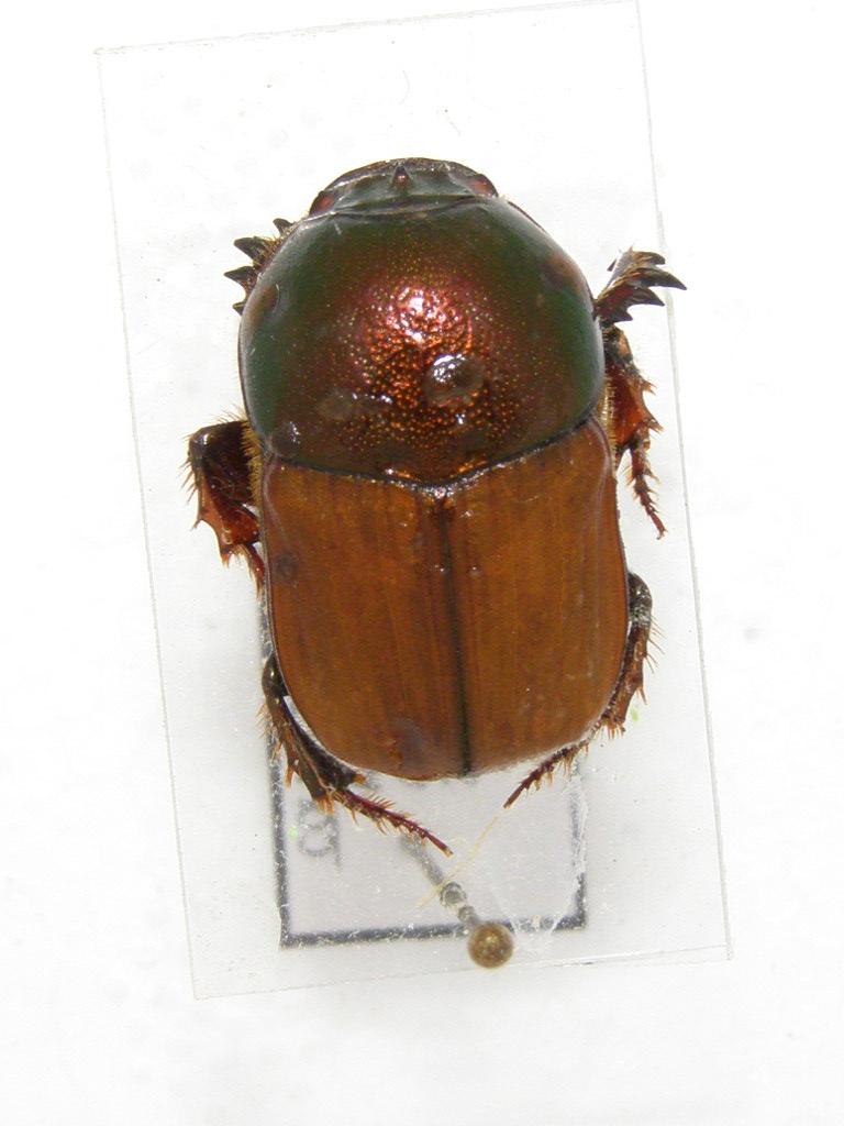 [Onitis alexis] scarabée d'Australie N°1 P5070014