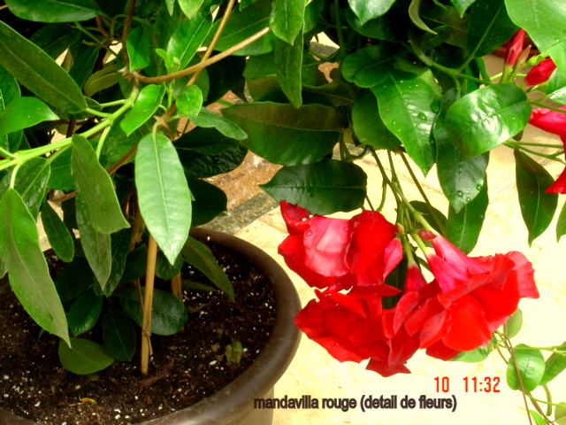 les MANDAVILLAS  ou DIPLADENIAS GEANTS Dsc01913