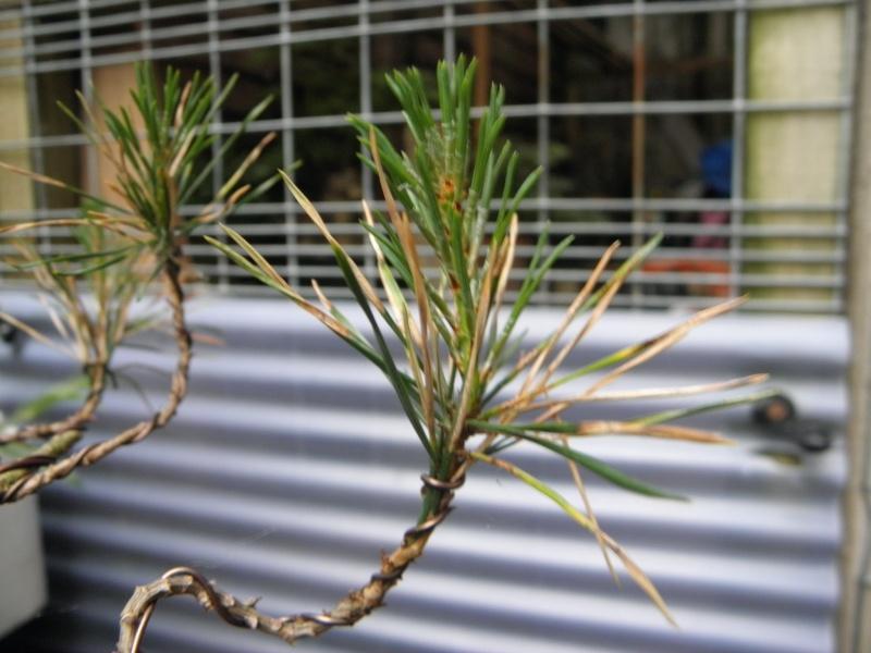 Pine Problem P5270310