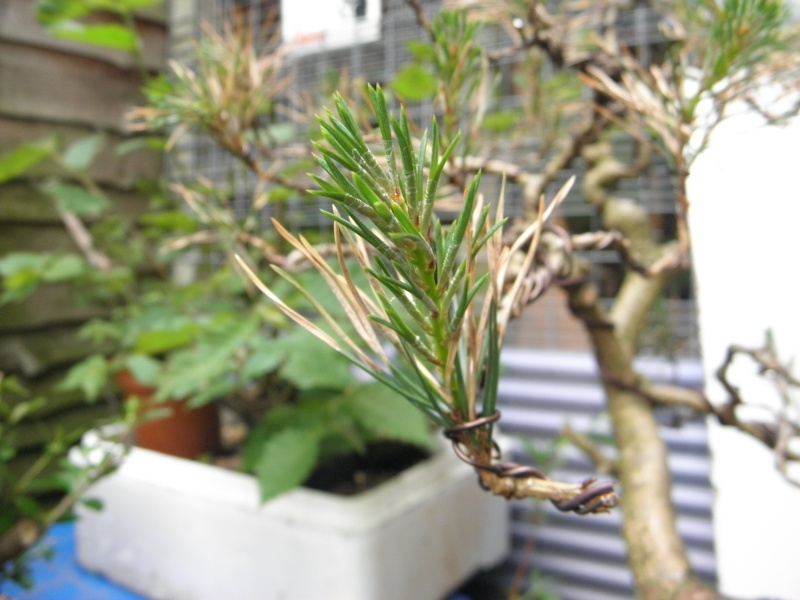 Pine Problem P5270311