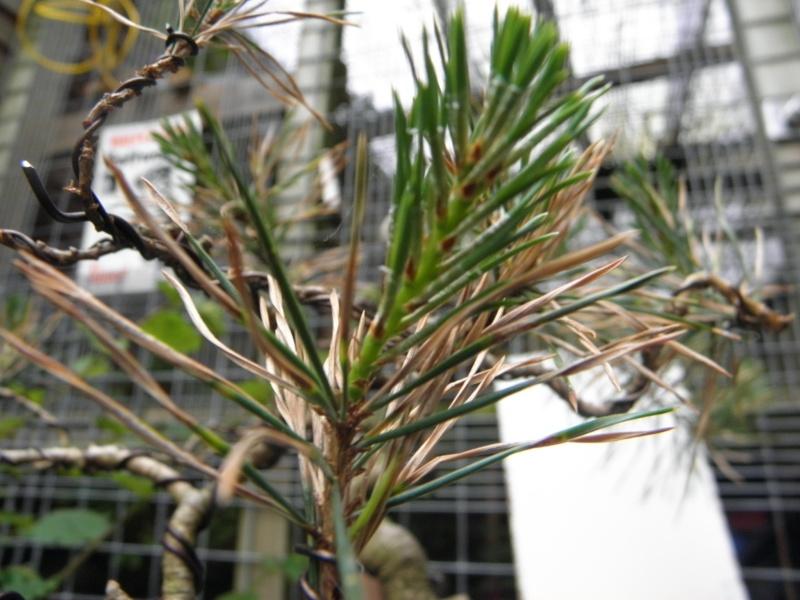 Pine Problem P5270312