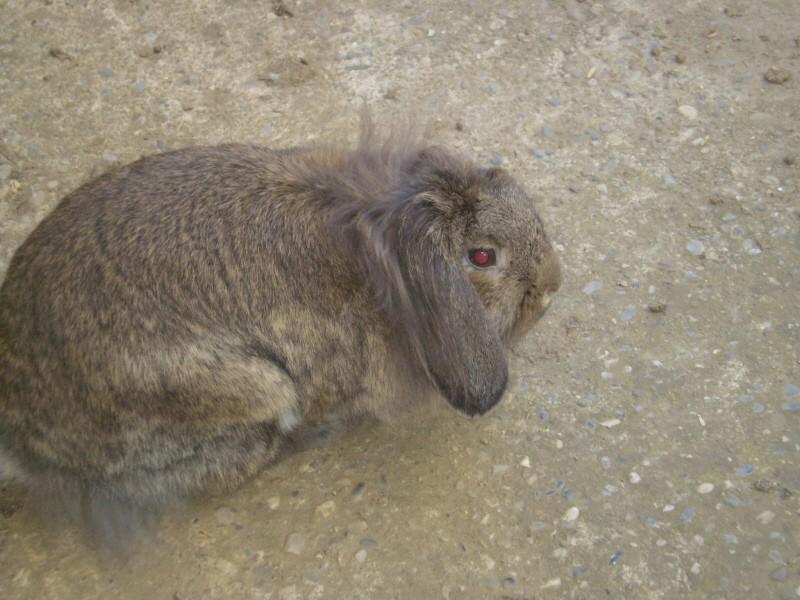 ROSALIE  petite lapine bélier P1010314