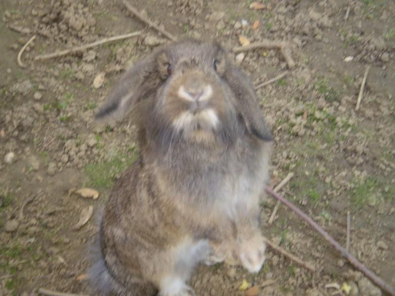 ROSALIE  petite lapine bélier P1010315