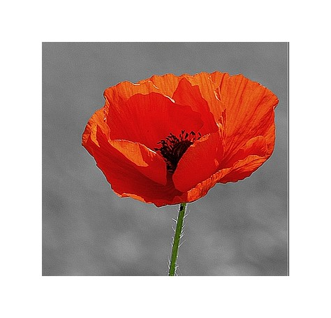 Coquelicot (besoin d'avis) Lpgxmh10