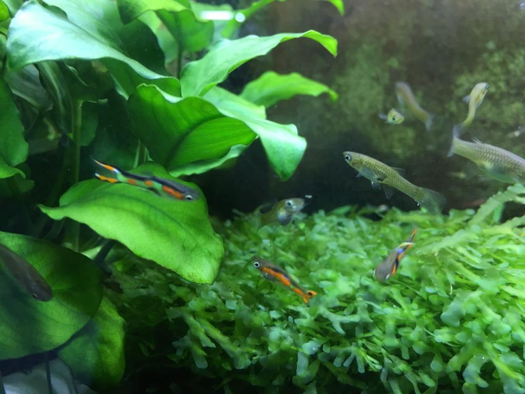 Aquarium à Wingei et spécifique crevette taiteebee  Img_3411