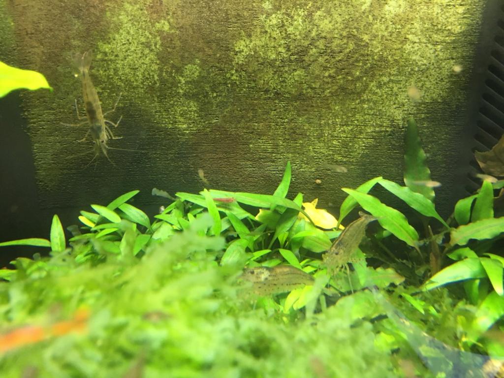 Aquarium à Wingei et spécifique crevette taiteebee  Img_3413