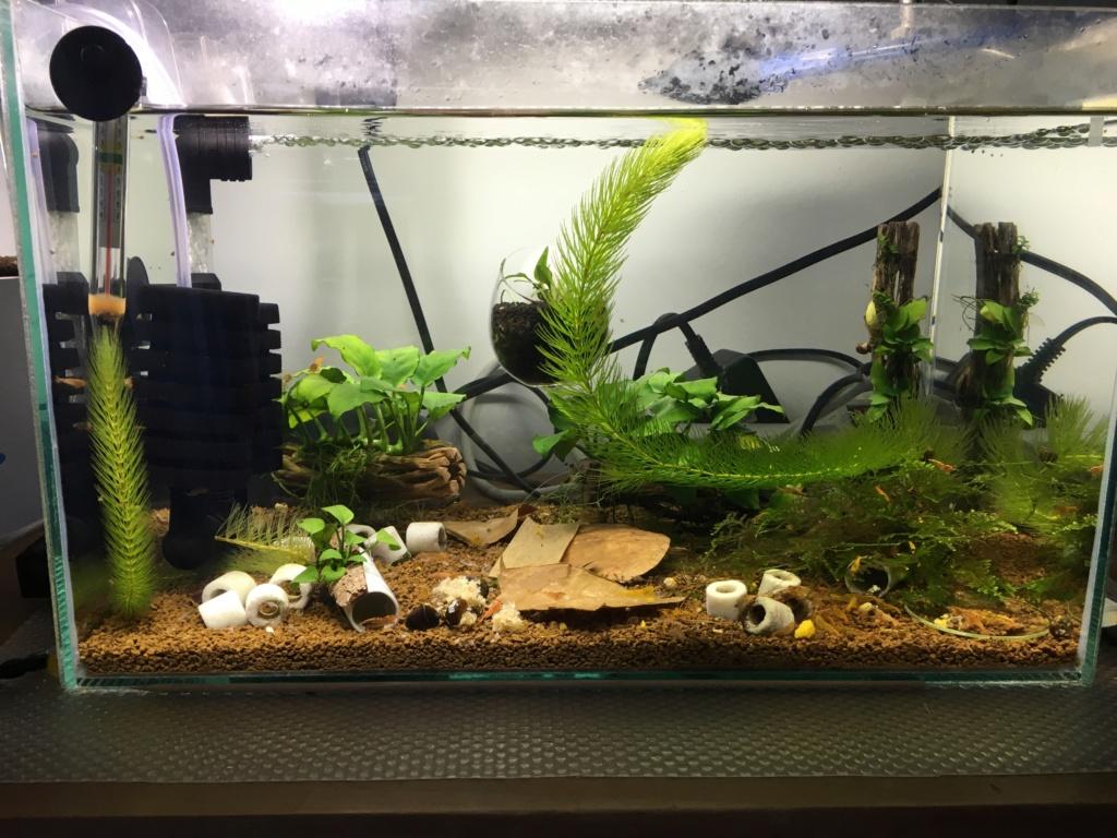 Aquarium à Wingei et spécifique crevette taiteebee  Img_3415