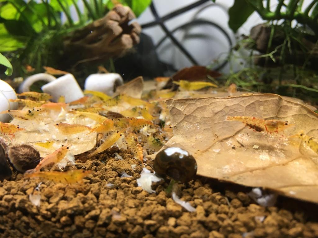 Aquarium à Wingei et spécifique crevette taiteebee  Img_3416