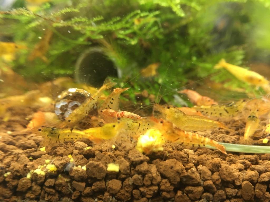Aquarium à Wingei et spécifique crevette taiteebee  Img_3420