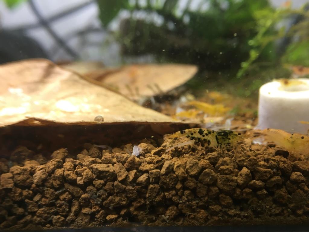 Aquarium à Wingei et spécifique crevette taiteebee  Img_3422