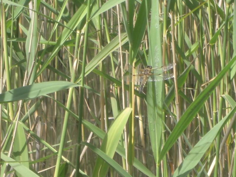 libellule dans un marais See10