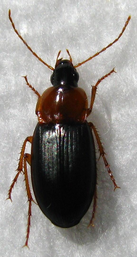[Calathus melanocephalus] LINNÉ 1758 Calath10