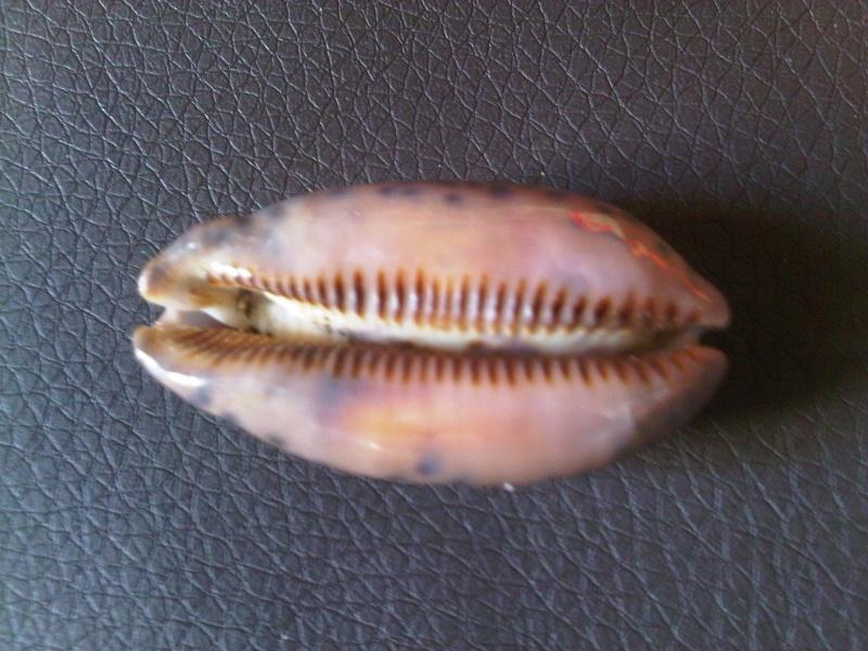 Mauritia scurra occidua - (Meyer & Lorenz, 2017) Img00127