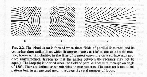 The TRIRADIUS in a fingerprint: how it develops, it's characteristics + a definition! - Page 10 4-29-210