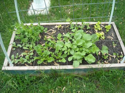 Garden doing good Peas-a10