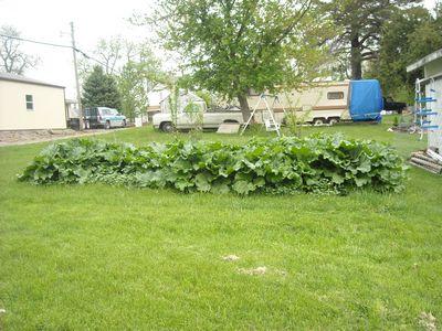 Rhubarb leaves left in garden??? Rhubar12