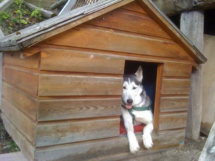 Mira femelle husky lof adoptée: peut on avoir des nouvelles ? Repos_10