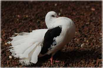 Photos of most of my birds! Fancy-10