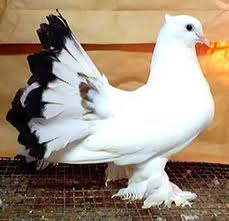 How do I tell the sex of my pigeons? Images10