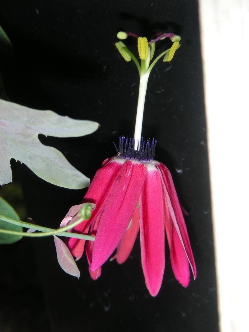 Passiflora edmundoi Dscn5210