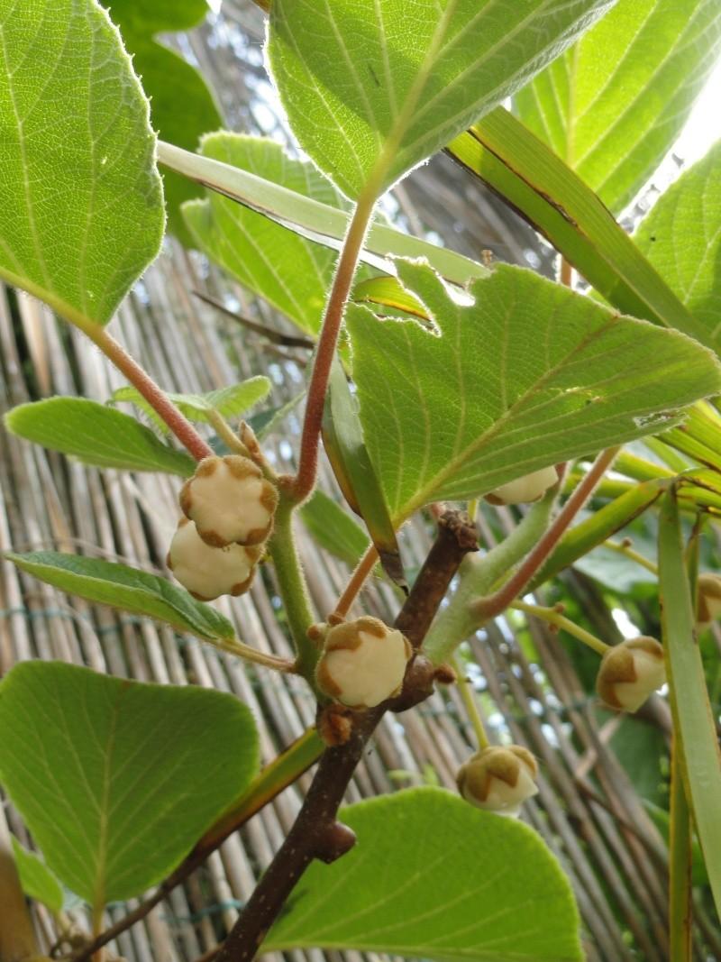 actinidia fruit kiwi - Page 2 Dsc00714