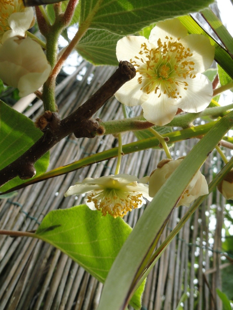 actinidia fruit kiwi - Page 3 Dsc00715