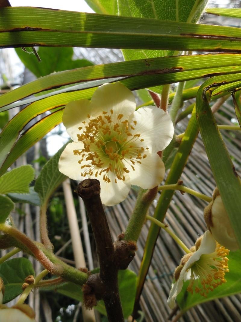 actinidia fruit kiwi - Page 3 Dsc00716